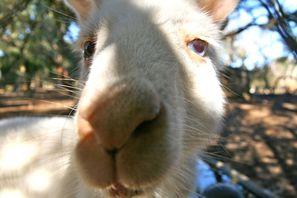 Albino kangoeroe