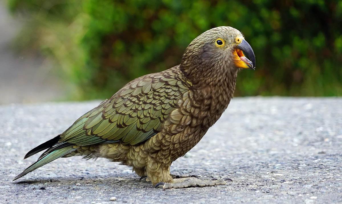 Kea vogel Nieuw-Zeeland
